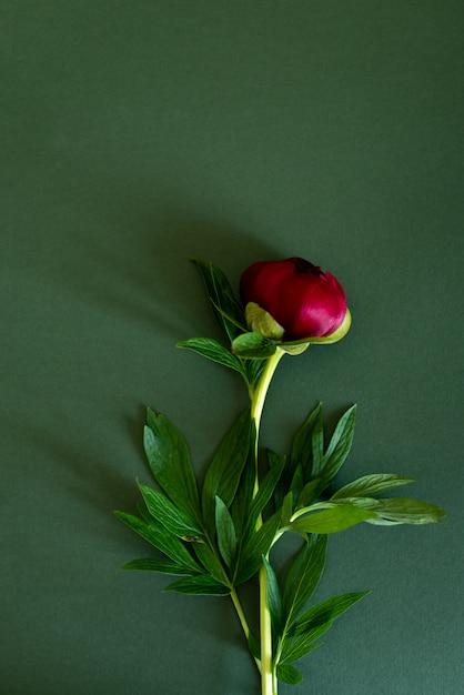 Draufsicht von pfingstrosenblumen Premium Fotos