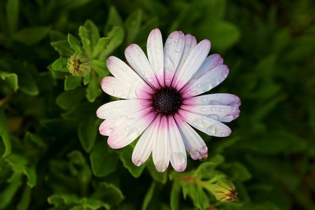 Draufsicht von weiß mit purpurroter kap-gänseblümchenblume mit den regentropfen, osterinsel, chile Premium Fotos
