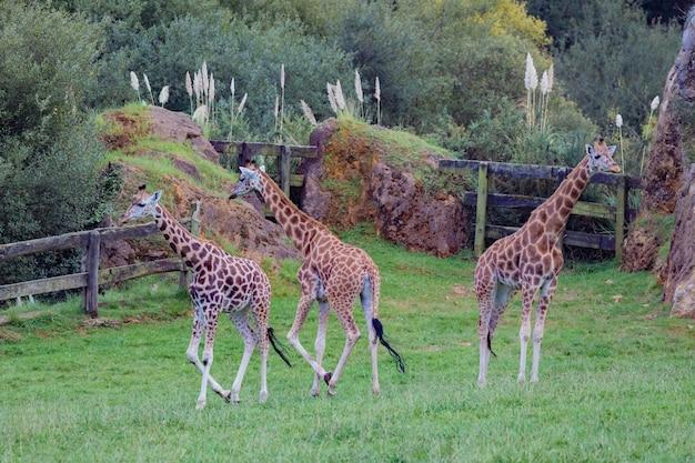 Drei erstaunliche große giraffen Premium Fotos