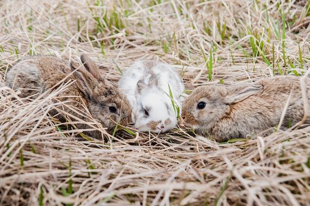 Drei kaninchen im alten gras auf dem bauernhof. Premium Fotos