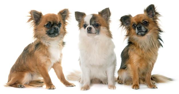 Drei kleine chihuahua Premium Fotos