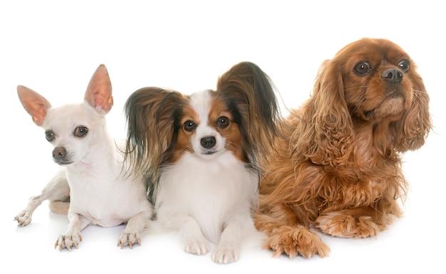 Drei kleine hunde Premium Fotos