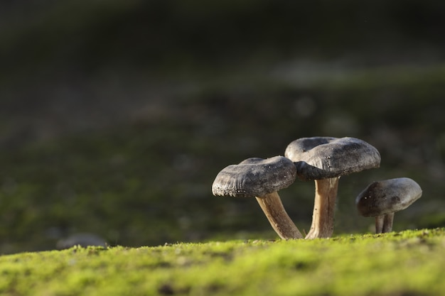 Drei lyophyllum littorina-pilze Kostenlose Fotos
