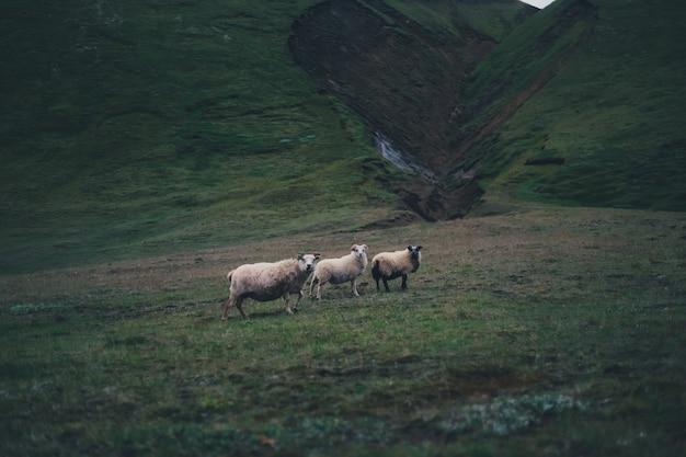 Drei schafe, die in den grünen hügeln an einem düsteren tag stehen Kostenlose Fotos