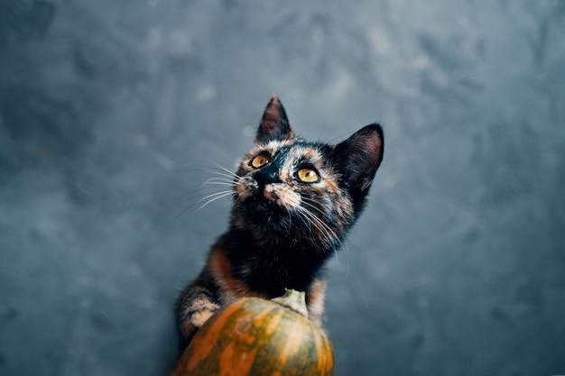 Dreifarbige süße katze schaut über kürbis auf Premium Fotos