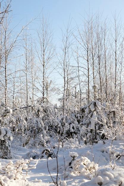 Dünne bäume, die mit schnee bedeckt sind und nach einem schneefall treiben, der wald wird von der hellen sonne beleuchtet Premium Fotos