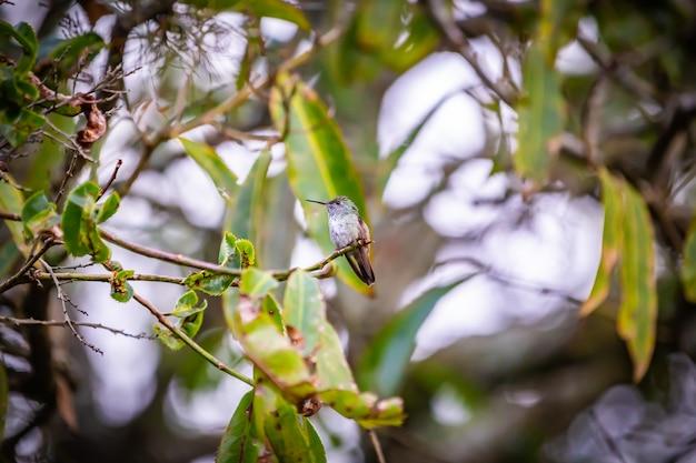 Düsterer kolibri (aphantochroa cirrochloris) alias beija-flor cinza, das in einem baum in brasilien steht Premium Fotos