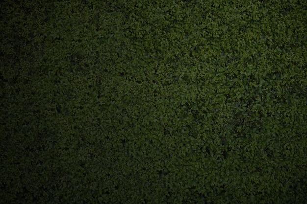 Dunkelgrüner blattwandhintergrund der nahaufnahme Premium Fotos