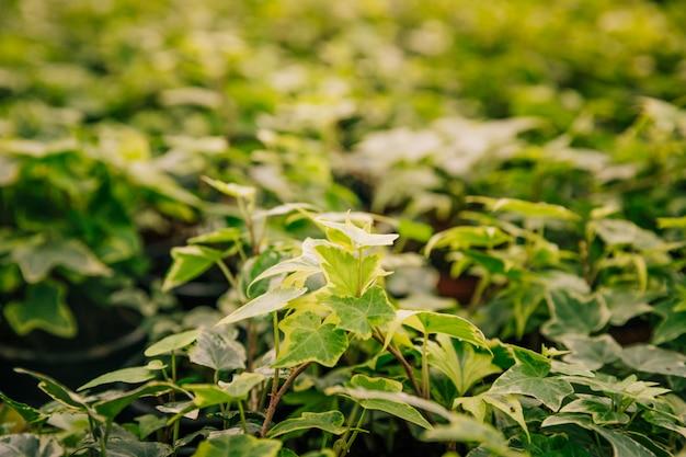 Efeupflanze im botanischen garten Kostenlose Fotos