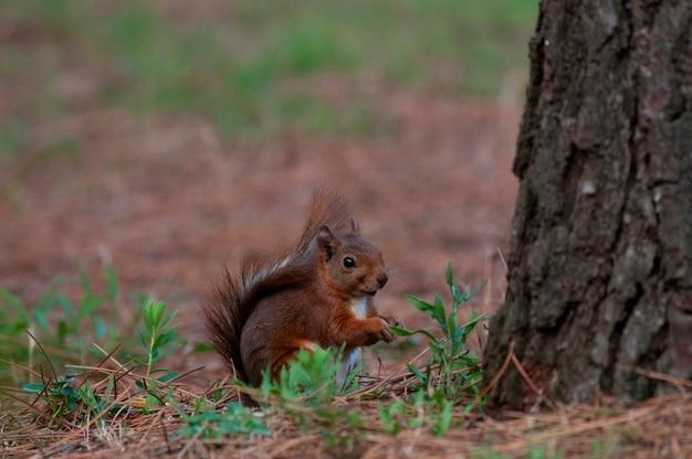 Eichhörnchen an der basis eines baumes Premium Fotos