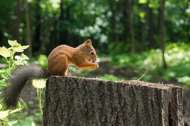 Eichhörnchen auf einem hanf mit einer nuss Premium Fotos