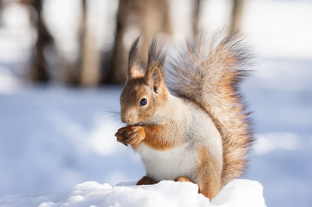 Eichhörnchen schnee winter Premium Fotos
