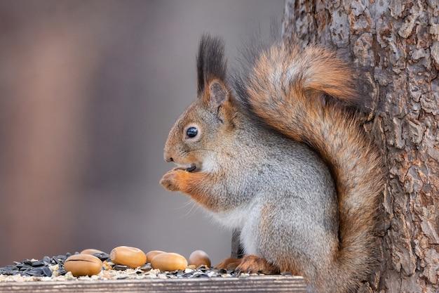 Eichhörnchenbaum im winter Premium Fotos