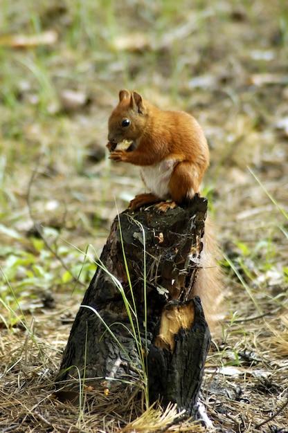 Eichhörnchenfell lustige haustiere herbstwald auf hintergrund Premium Fotos