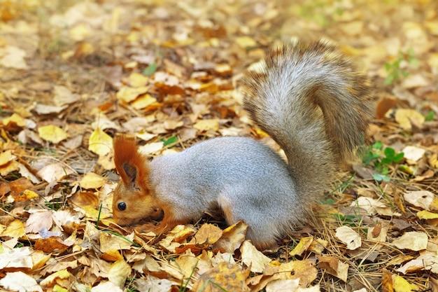 Eichhörnchenschnüffeln, nach verstecktem essen suchend Premium Fotos
