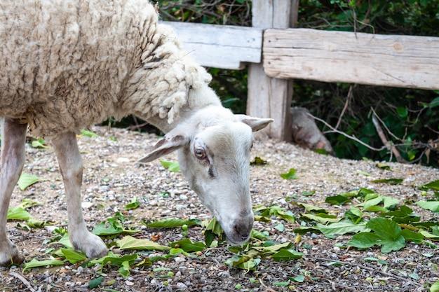 Ein altes schaf, das grünes gras an der farm isst Premium Fotos