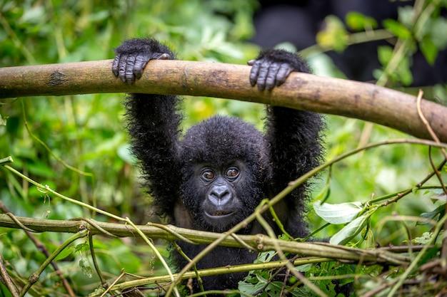 Ein baby gorila im virunga national park Premium Fotos