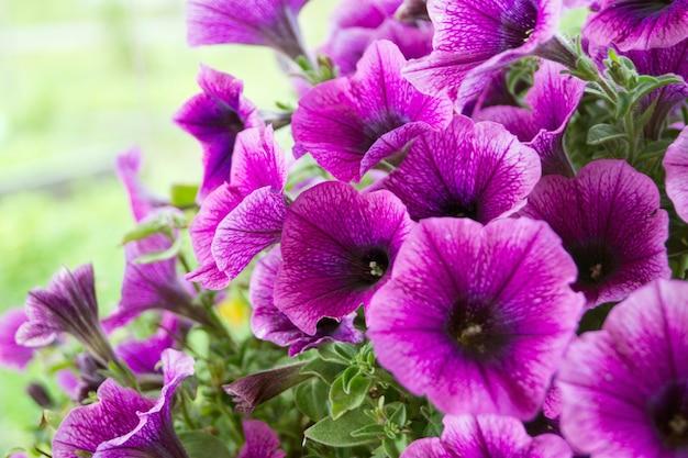Ein bett aus violetten petunien (petunia grandiflora). Premium Fotos
