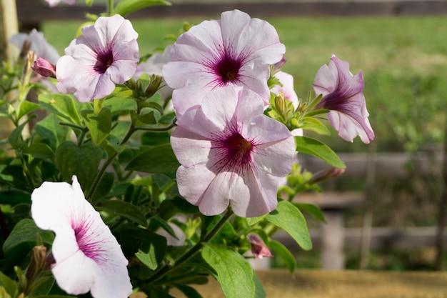 Ein blumenbeet aus weißen petunien (petunia grandiflora). Premium Fotos