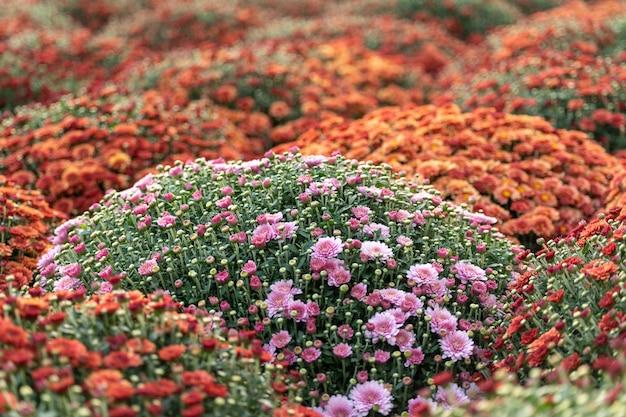 Ein blumenbeet mit blühenden chrysanthemen. Premium Fotos