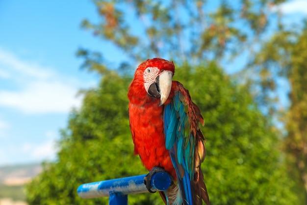 Ein buntes porträt eines macawpapageien, sitzend auf einer blauen stange. nahansicht Premium Fotos