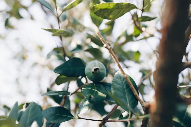 Ein einzelnes feijoa auf dem grünen zweig. Kostenlose Fotos