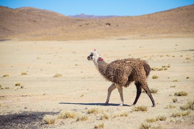 Ein einziges lama auf dem andenhochland in bolivien. erwachsenes tier, das in wüstenland galoppiert. seitenansicht. Premium Fotos