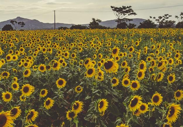 Ein feld von sonnenblumen Kostenlose Fotos