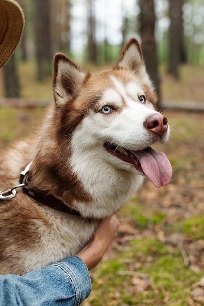 Ein fröhlicher hund an der leine. husky zeigt seine zunge. ein spaziergang mit einem husky im wald. wandern mit einem hund in der natur. braune schale Premium Fotos