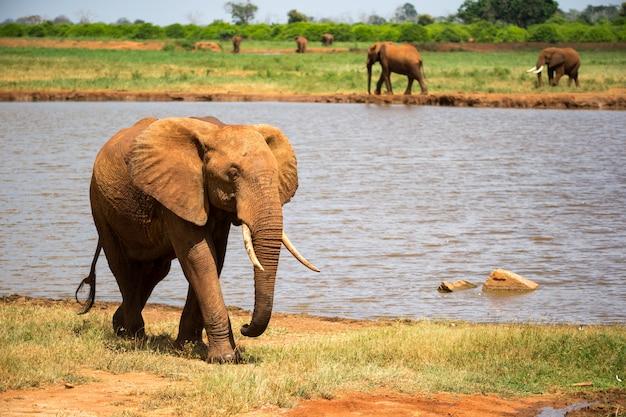 Ein großer roter elefant geht am ufer eines wasserlochs spazieren Premium Fotos