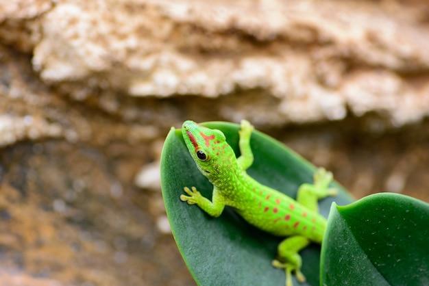Ein grüner madagaskar-gecko (phelsuma grandis) kriecht am ende eines blattes. Premium Fotos