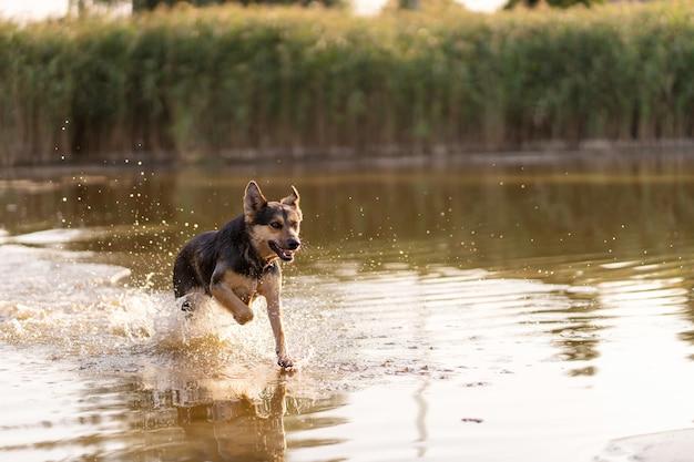 Ein hund rennt in einem see durchs wasser, spray fliegt in alle richtungen, hundespaß Premium Fotos