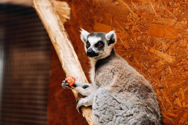 Ein katta isst eine frucht, während er auf einem baumstamm sitzt Premium Fotos