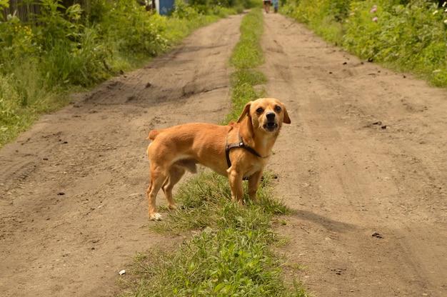 Ein kleiner roter hund steht auf der straße und schaut aggressiv. Premium Fotos