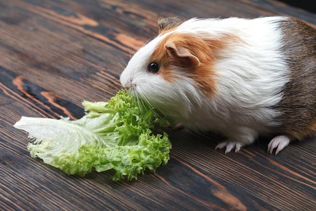 Ein kleines meerschweinchen, das ein kopfsalatblatt isst Premium Fotos
