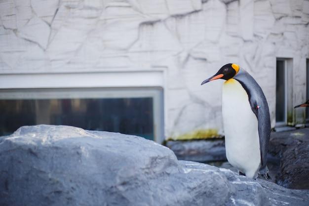 Ein königpinguin im asahiyama-zoo, asahikawa, hokkaido, japan. Premium Fotos