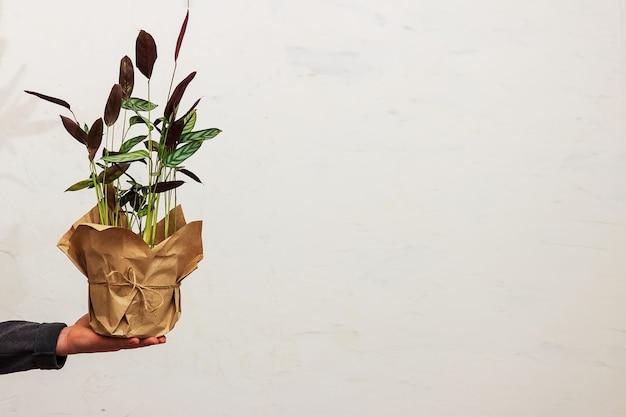 Ein mann hält einen topf mit einer blume vor dem hintergrund der wand in der hand. umweltfreundliche verpackung für topfpflanzen. ktenana blume Premium Fotos