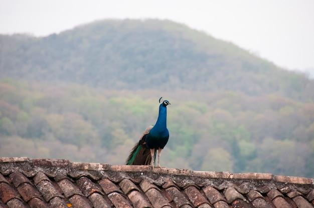 Ein pfau innen auf einer dachspitze Premium Fotos