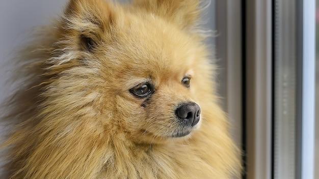 Ein pommerscher hund mit gelbem fell, der durch das fenster schaut Kostenlose Fotos