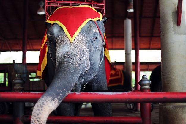 Ein schöner großer ausgebildeter elefant auf einer zirkusshow mit traurigen augen. südzoo. Premium Fotos