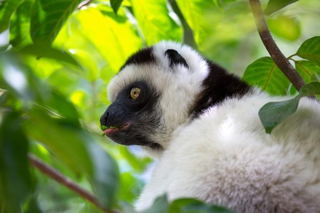 Ein schwarz-weißer lemur sitzt in der krone eines baumes, vari, sifaka Premium Fotos