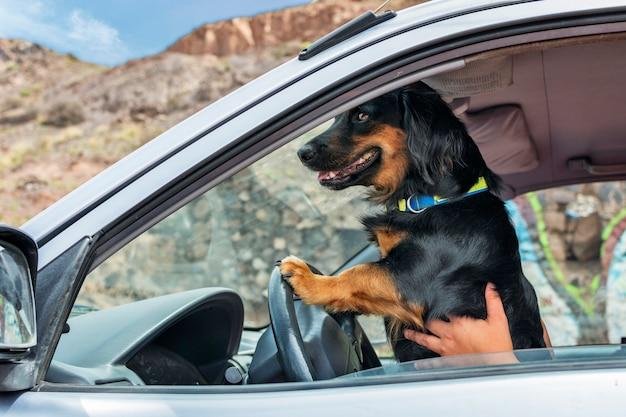 Ein schwarzer hund mit seinen beinen am lenkrad eines autos, das vorgibt, der fahrer zu sein Premium Fotos