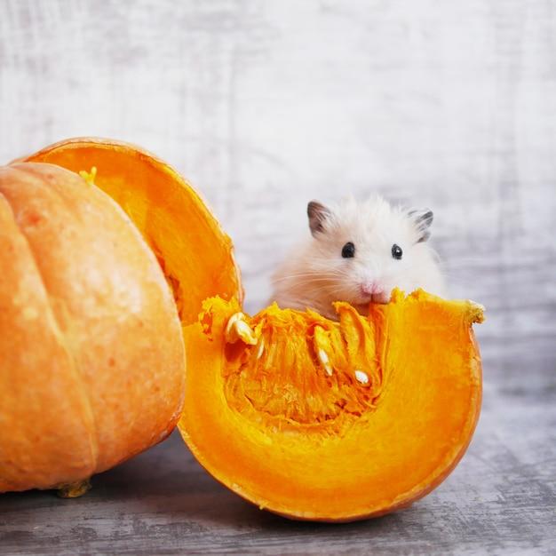 Ein süßer flauschiger hamster sitzt neben einem geschnittenen stück kürbis Premium Fotos