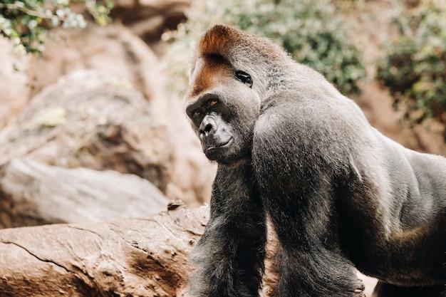 Ein westlicher tieflandgorilla mit schmollendem gesichtsausdruck. der gorilla sieht mich an. Premium Fotos