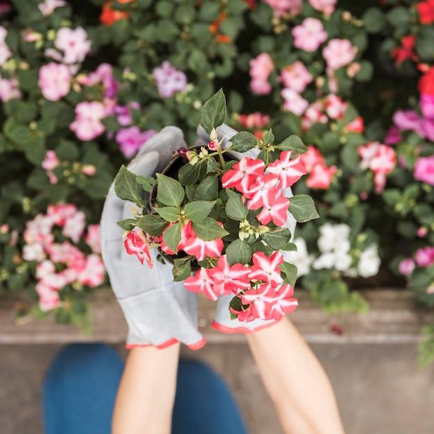 Eine draufsicht der hand des weiblichen gärtners rote blühende pflanzen halten Kostenlose Fotos