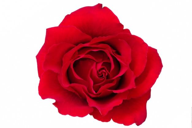 Eine einzelne blühende rote rose Premium Fotos