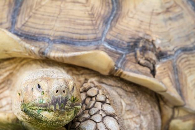 Eine große landschildkröte Premium Fotos