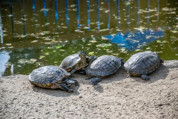 Eine gruppe von schönen schildkröten sonnt sich am ufer des teiches unter dem warmen sonnenschein. Premium Fotos
