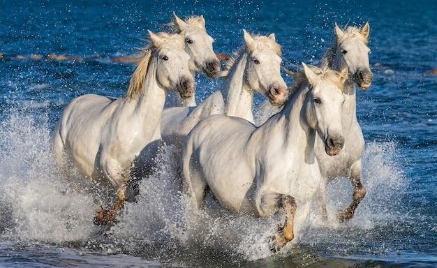 Eine gruppe weißer camargue-pferde, die im wasser laufen Premium Fotos