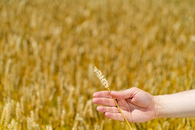 Eine hand des menschen hält weizenstiel auf dem hintergrund des feldes im sommer. Premium Fotos